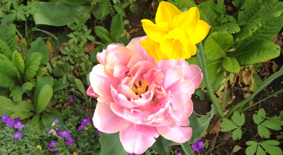Tulpen und Narzissen im Höhenwirtgarten